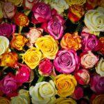 roses-1229148_640