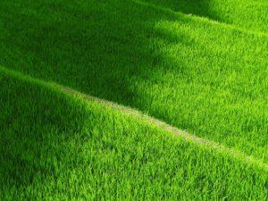 緑色がキレイな芝生